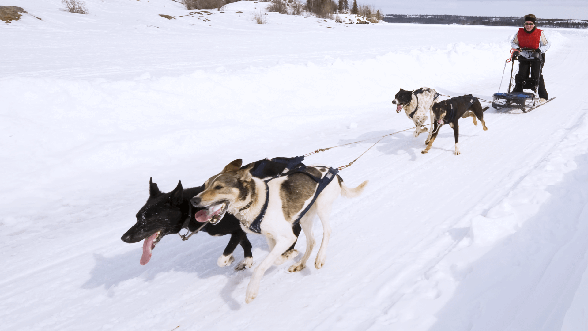 Sled Dogs running at full speed just like GCI Internet